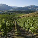 AKARUA-Vineyard, summer, image 2-liten